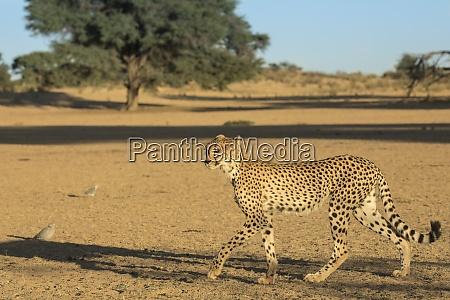 cheetah acinonyx jubatus kgalagadi transfrontier park