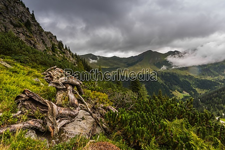 gnarled roots in the green mountains